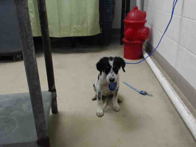 08/24/15-HOUSTON - This DOG - ID#A440368 I have a rescue group interested in me. I am a female, white and black Australian Shepherd mix. The shelter staff think I am about 16 weeks old. I have been at the shelter since Aug 12, 2015. This information was refreshed 5 minutes ago and may not represent all of the animals at the Harris County Public Health and Environmental Services.
