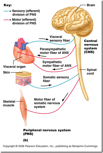 Peripheral Nervous System Spinal Cord Multiple Sclerosis
