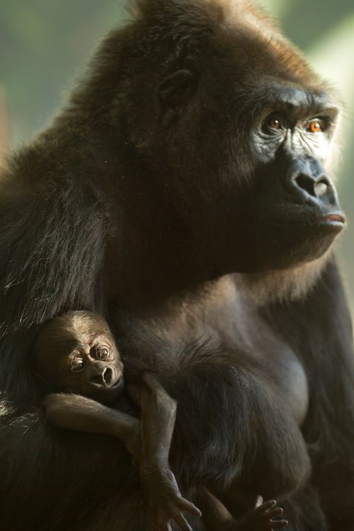 A Baby Gorilla For Lincoln Park Zoo Baby Gorillas Gorilla Lincoln Park Zoo