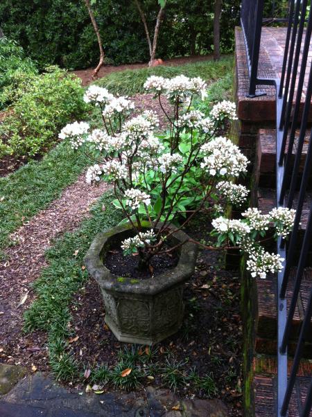 Mountain Laurel Is Now In Bloom Birmingham Gardening Today Mountain Laurel Plants Laurel