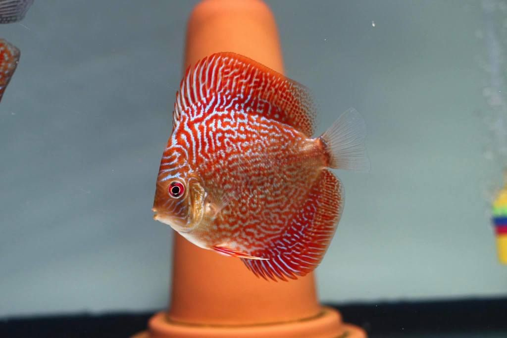 Photo Gallery Of Discus Fish Live Tropical Fish Live Tropical Fish Discus Fish Fish Discus