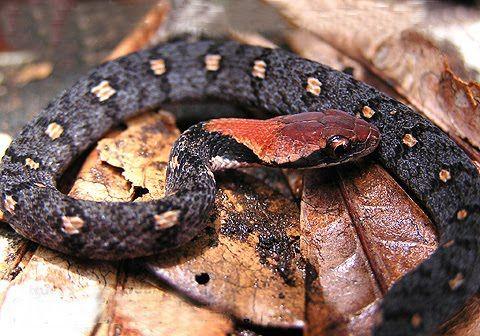 """Balanophis ceylonensis ~ Blossom Krait This species of venomous snake, family Elapidae, is endemic to Sri Lanka. """""""