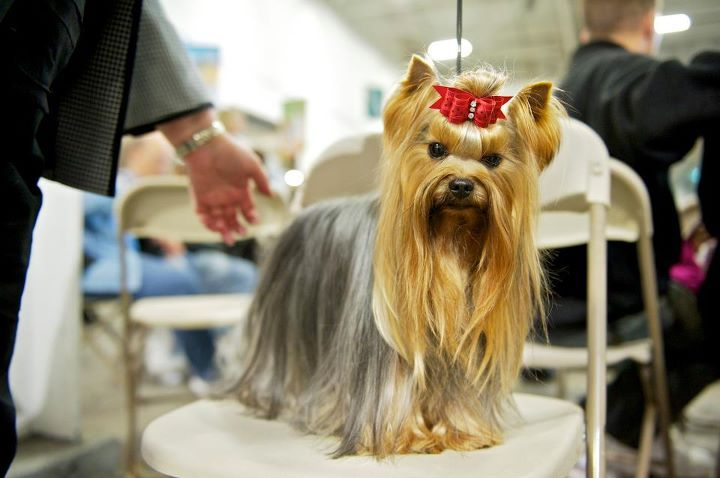 Yorkie Adults Are Tan With A Saddle Which May Appear Silvery Steel