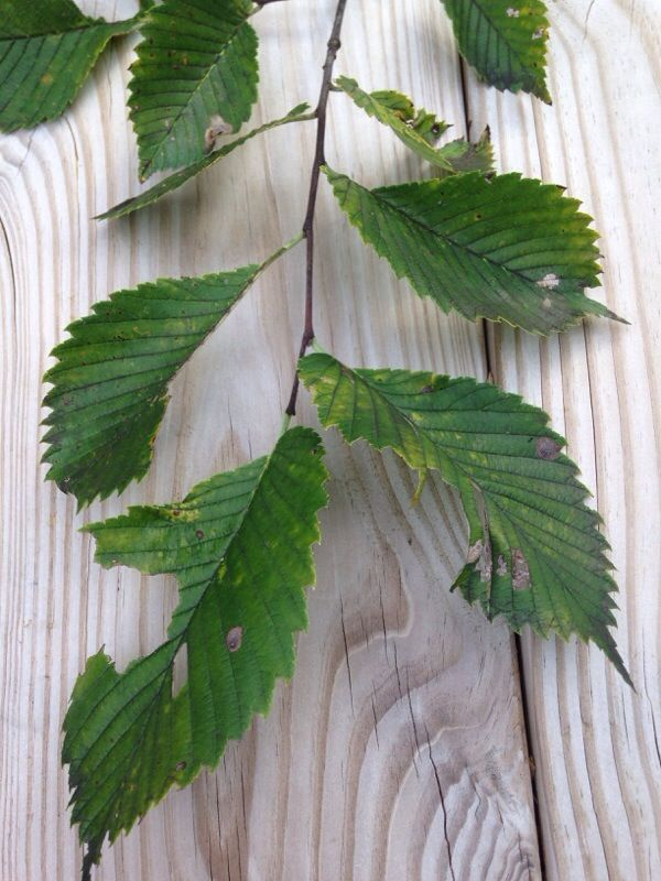 Free Plant Identification (With images) Plant leaves