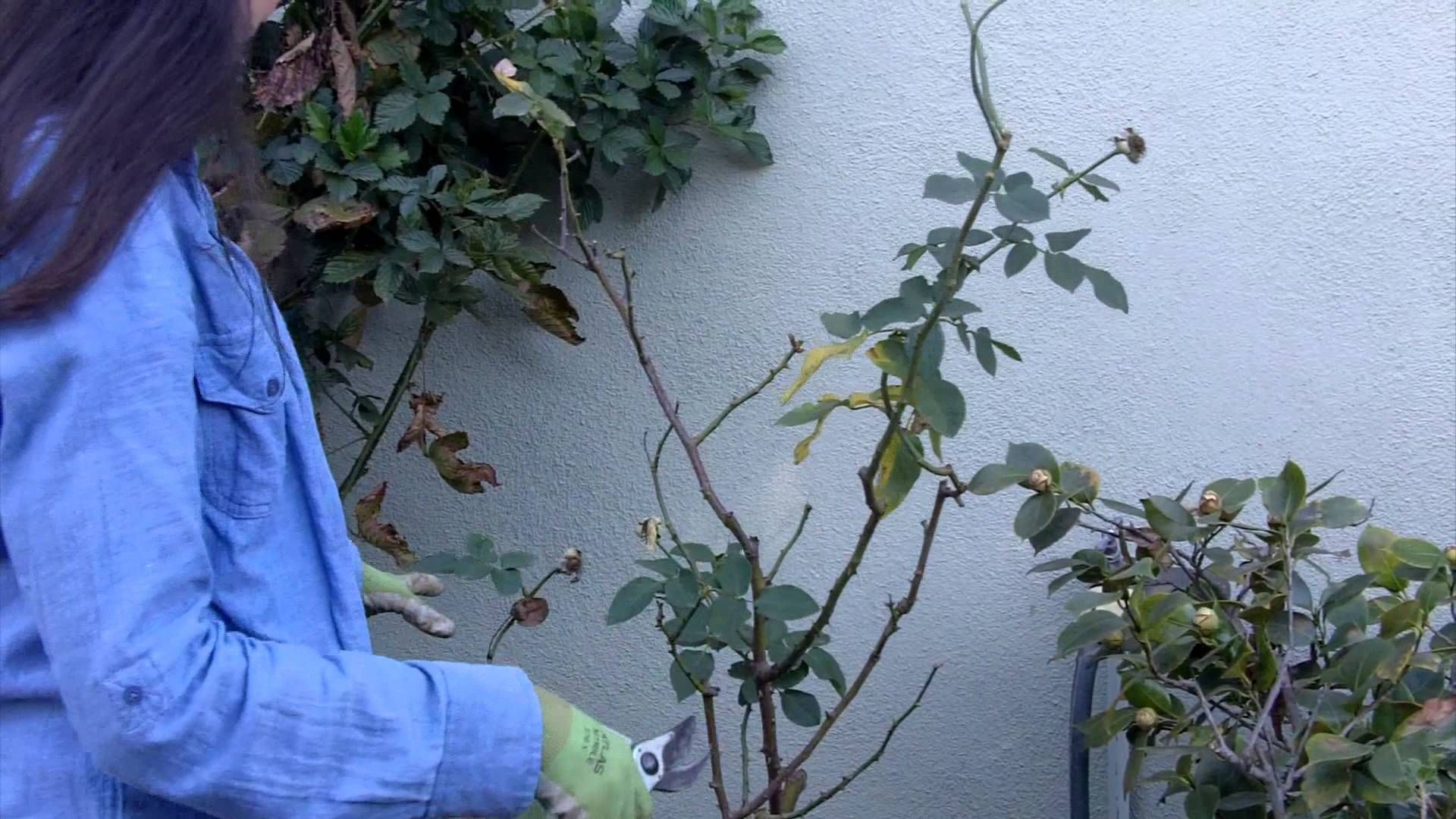 How to prune your roses in easy steps gardening pinterest