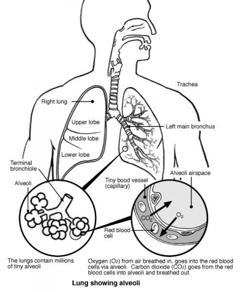diagram of the lungs Science Teaching Ideas