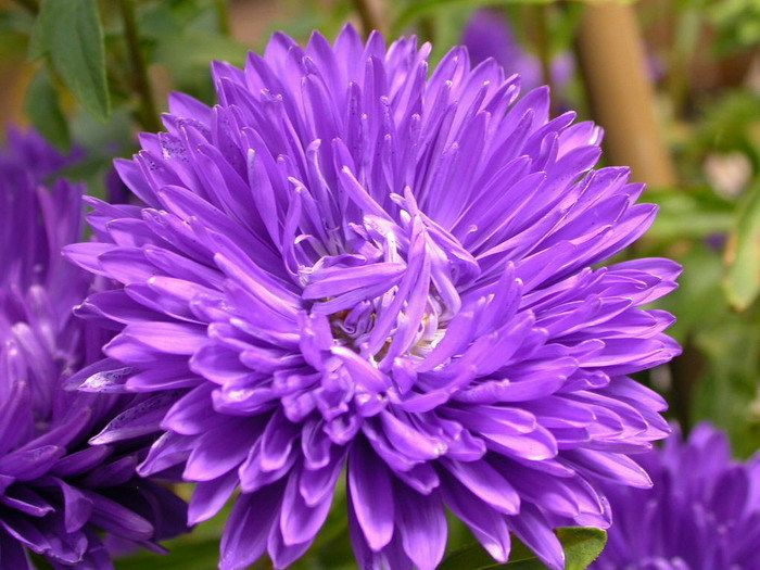 Callistephus Kaeˈlɪstɨfəs 2 Is A Monotypic Genus Of Flowering Plants In The Aster Family Asteraceae Containing The Flower Seeds Violet Flower Aster Flower
