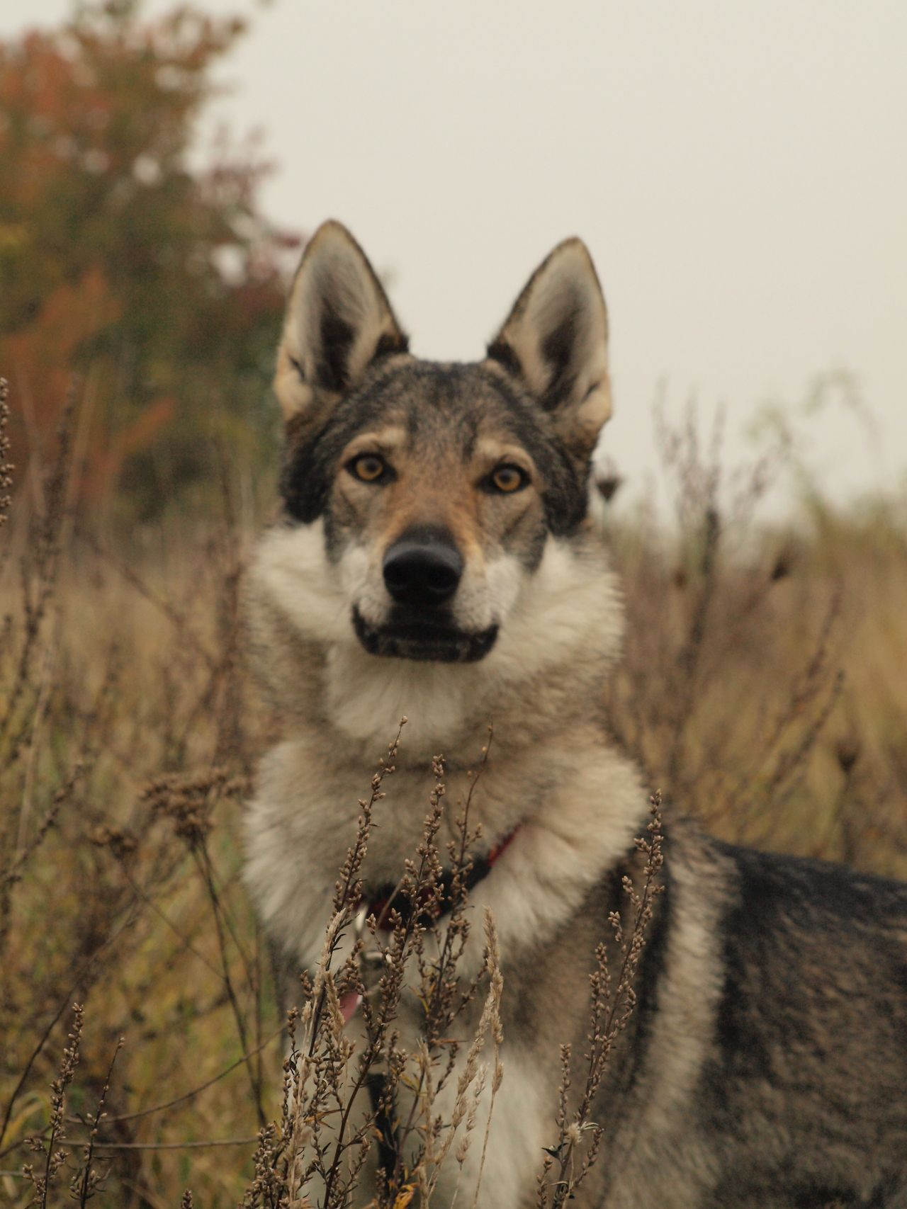 Small Of Dog Breeds That Look Like Wolves