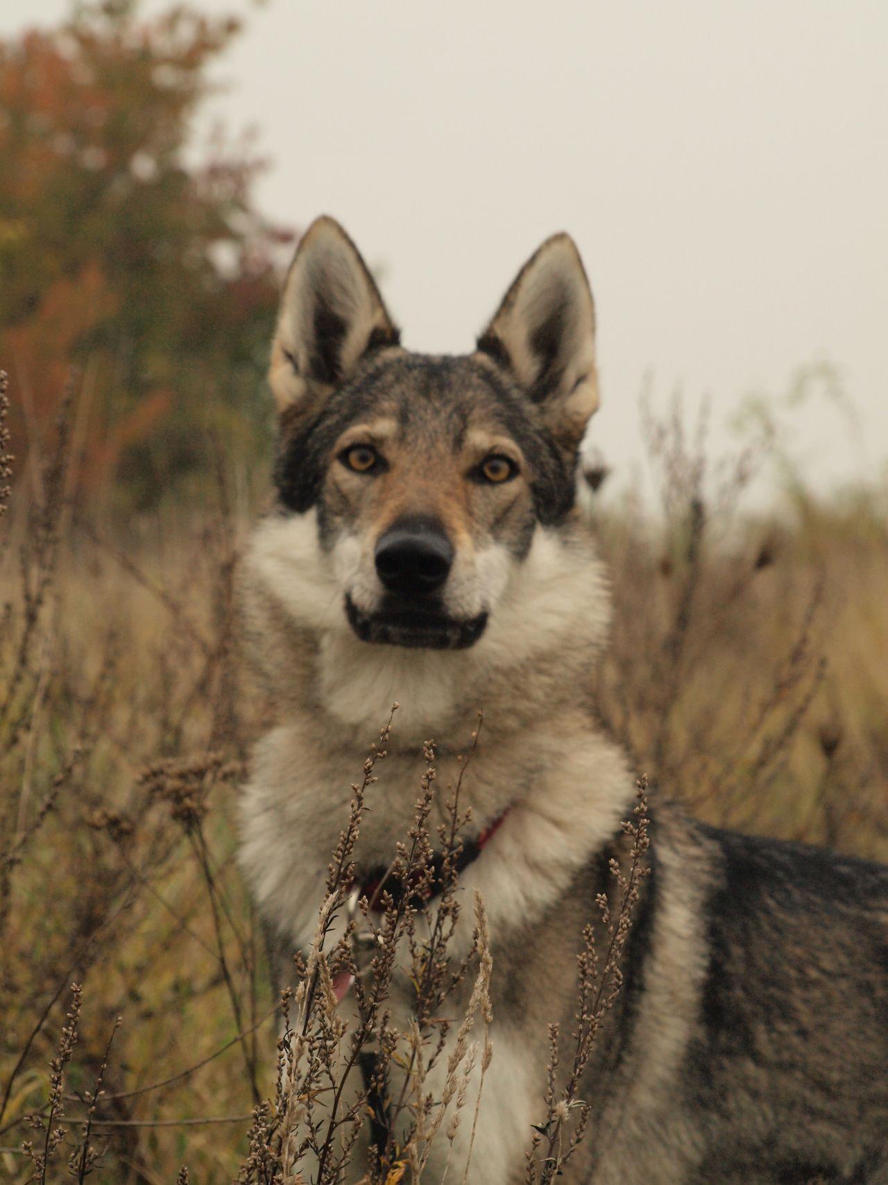 Fullsize Of Dog Breeds That Look Like Wolves