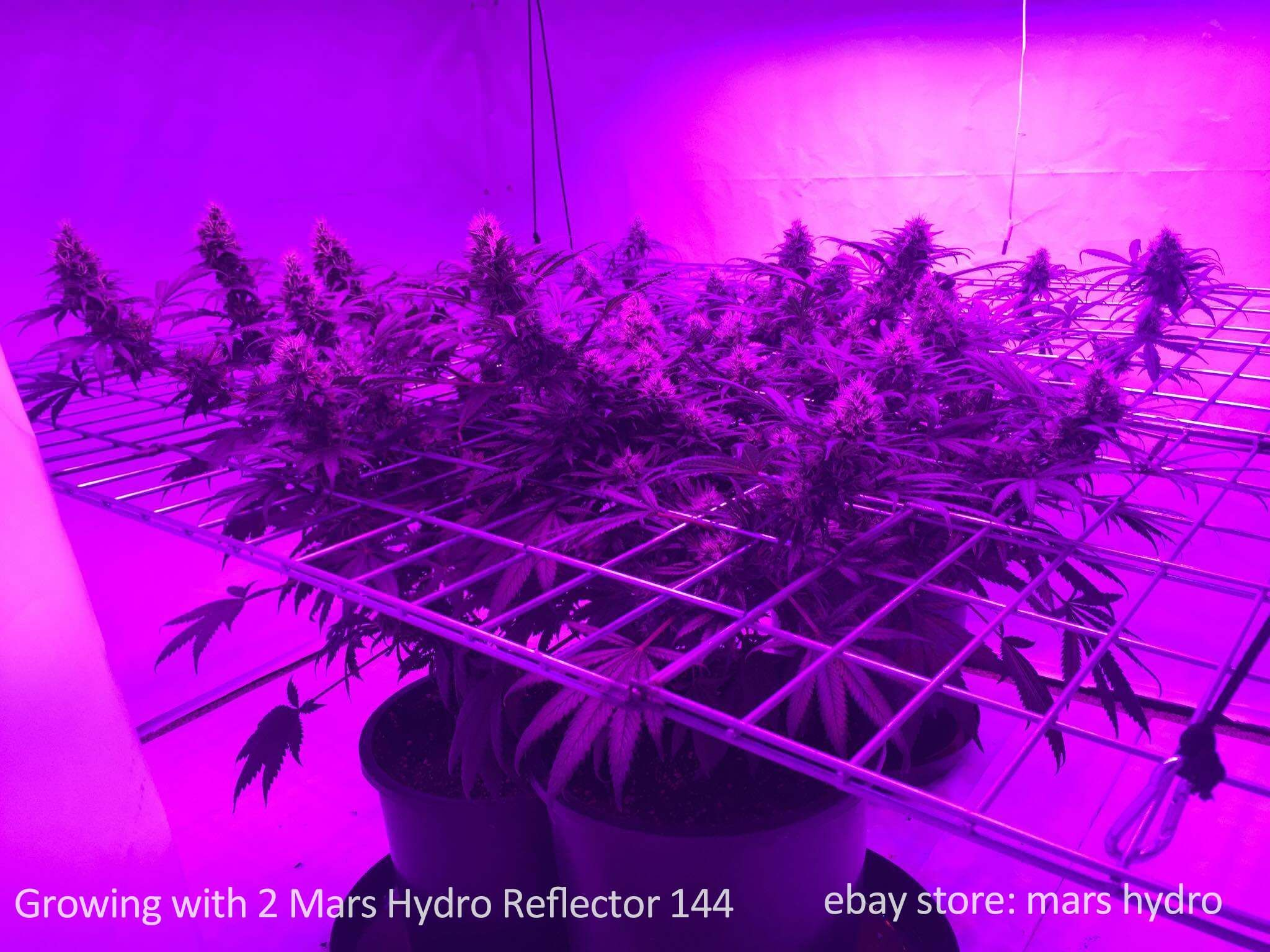 Growing Cannabis With 2 Mars Hydro Reflector 144 LED Grow Lights Panel Lamp  Indoor High Yield