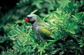 Moustached Parakeets as Pets - Species Profile