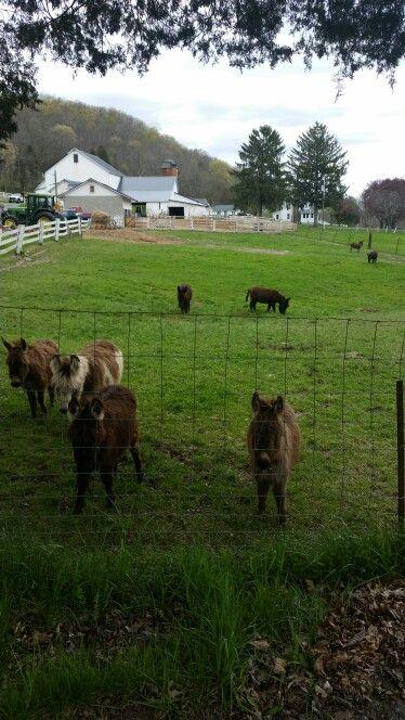 Mini donkeys farm 4 / 30 / 16