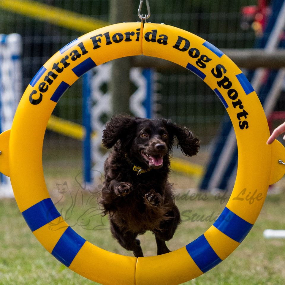 Central florida agility club sporting dogs dogs agile