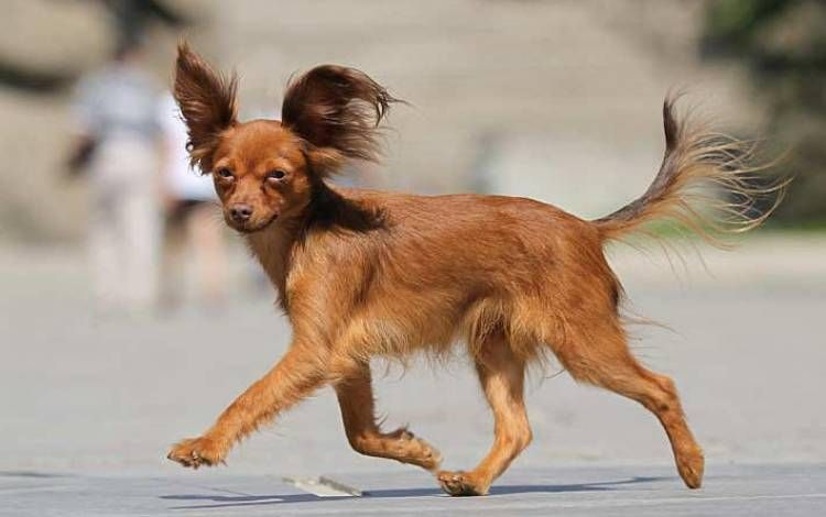 Russian Toy Terrier With Images Russian Toy Terrier Dog