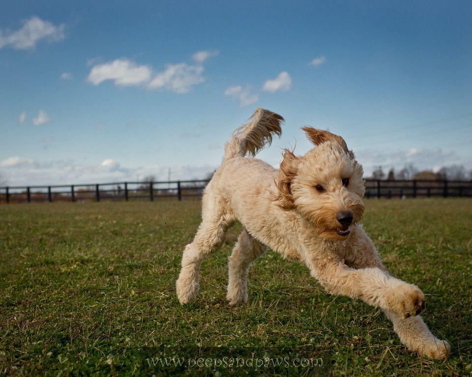 Image Result For Running Goldendoodle Dogs Dog Park Wild Dogs