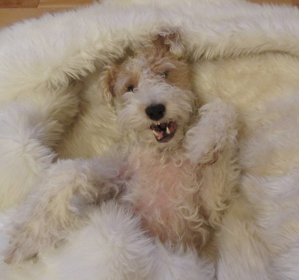 Felix the Wire Fox Terrier! WIRE FOX TERRIER RESCUE MIDWEST ...