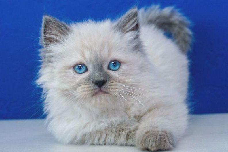 Ragdoll Kittens For Sale Near Me Buy Ragdoll Kitten In 2020 Ragdoll Kittens For Sale Ragdoll Kitten Kitten For Sale