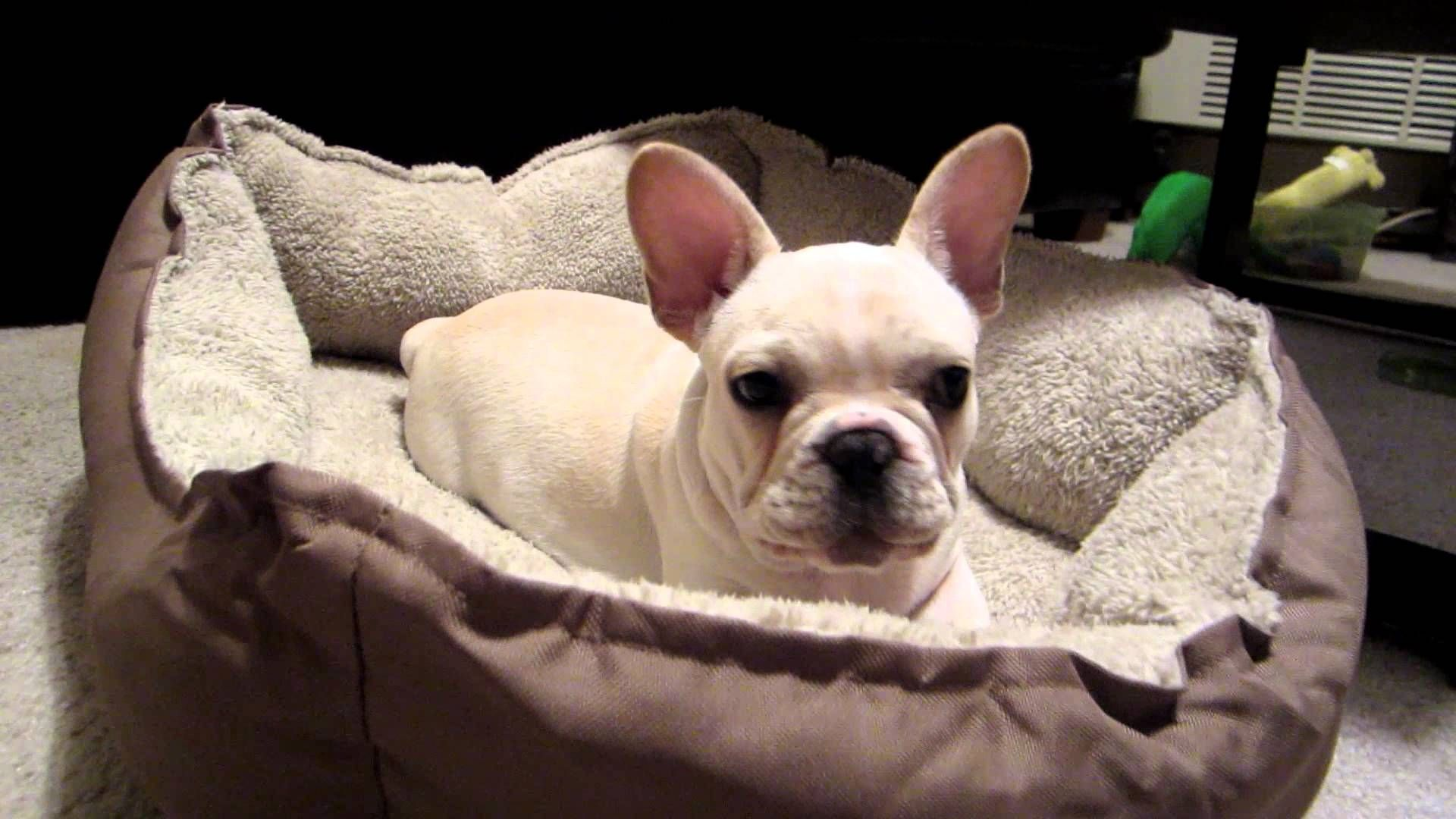 French Bulldog Puppy Angry When Woken Up French Bulldog Puppies