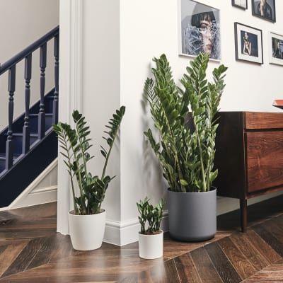Buy Indoor House Plants Online Patch Green In 2019 400 x 300