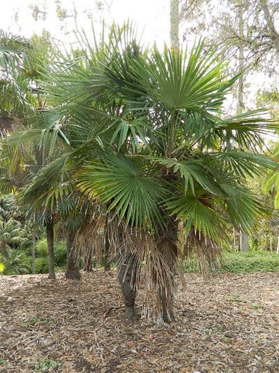 Chinese Windmill Palm Tree Species