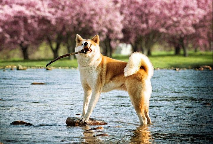 Akita Dog Price Range How Much Are American Akita Puppies