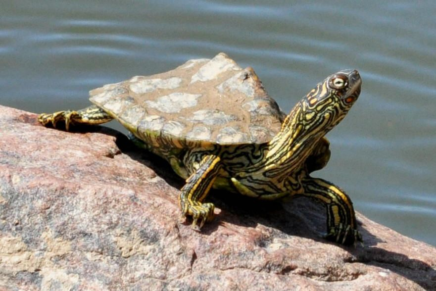 Texas Map Turtle Graptemys Versa The Species Is Found In Central