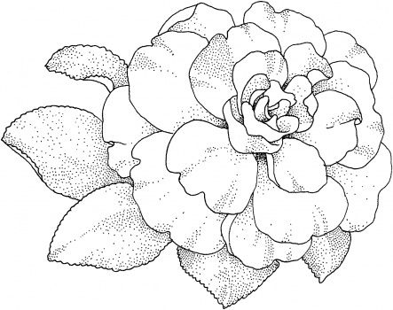 Camellia Blossom Coloring Pages Floral Drawing Drawings