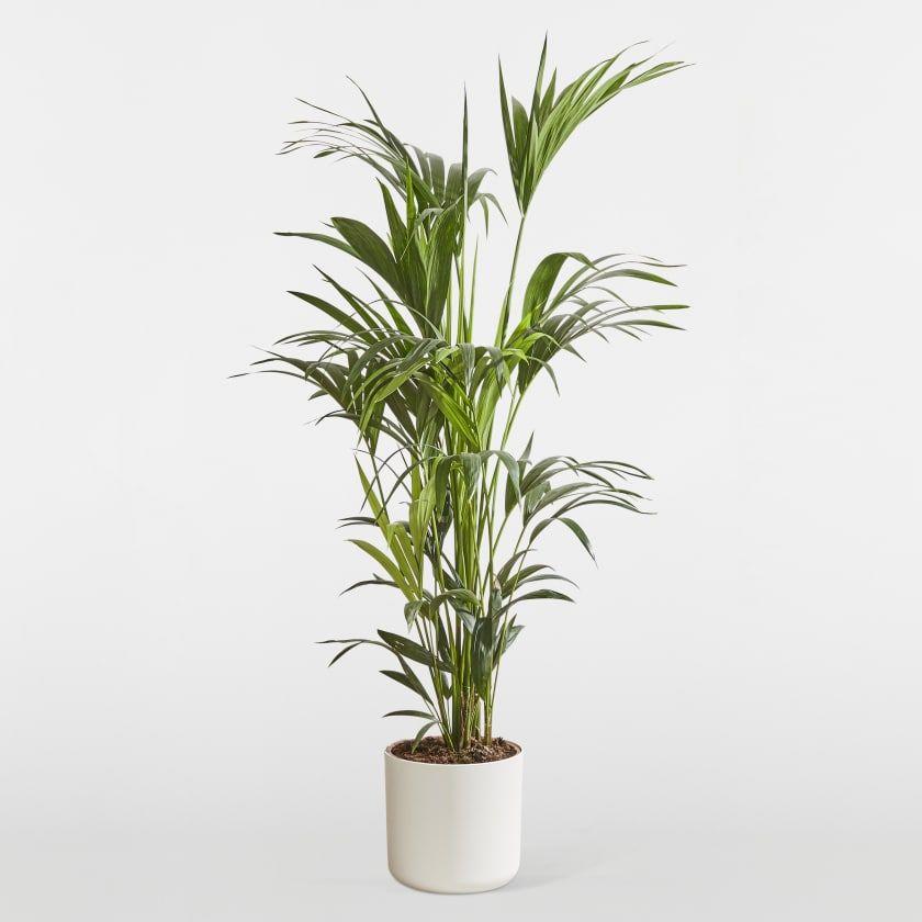 Kentia Palm Howea Forsteriana Kentia palm, Palm house
