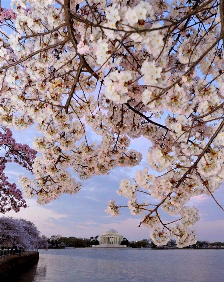 National Cherry Blossom Festival Celebrates 100 Years Best Places To Live Cherry Blossom Festival Cherry Blossom Dc