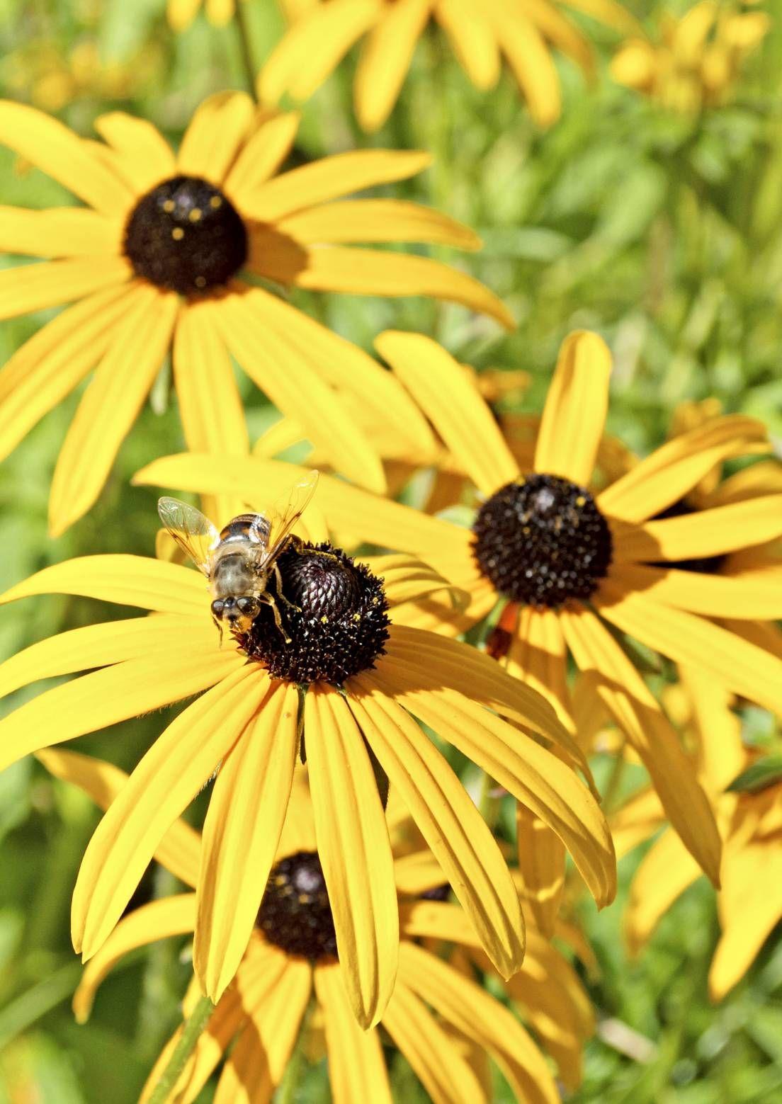 Houkuttele pölyttäjiä näillä kasveilla | Meillä kotona > Sädepäivänhattu