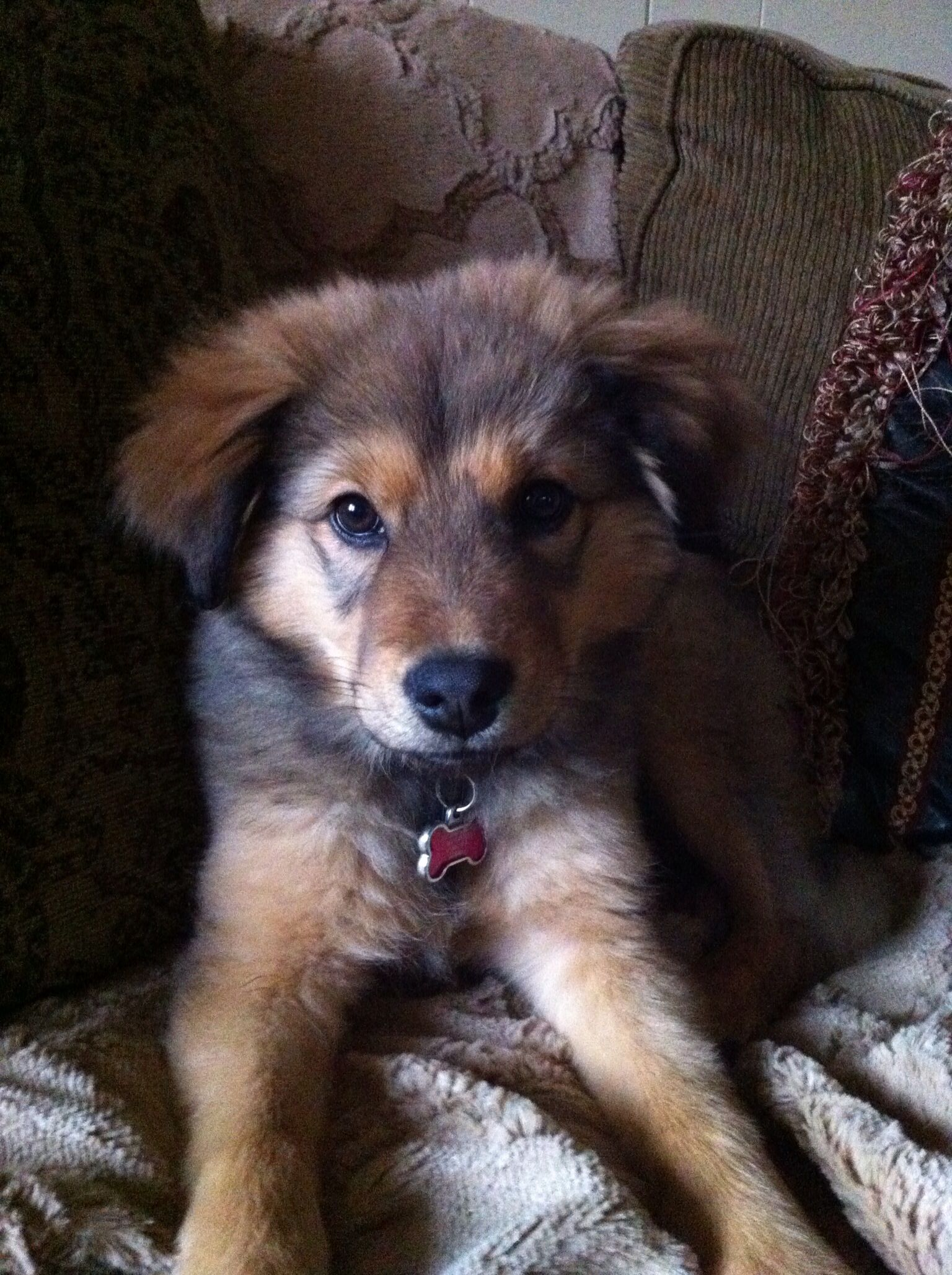 Such A Sweetie Pie Rescue Adopt Foster German Shepard Mix Chow
