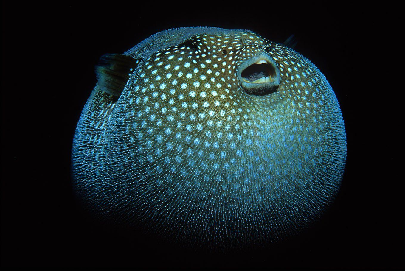 The Daily Catch Fish Puffer Fish Deep Sea Life