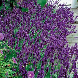 Lavender hidcote blue lavender is truly a gift from god such a lavender hidcote blue lavender is truly a gift from god such a wonderful scent perennial flower mightylinksfo