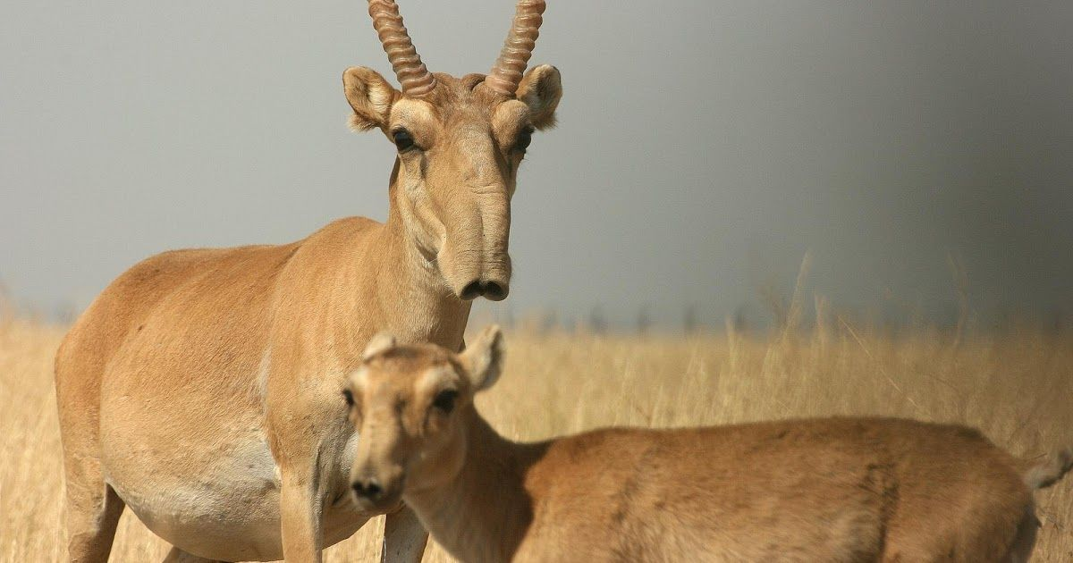 Saiga Antelope Extinct Status Cr Rank Ex Ew Cr En Vu Nt Lc Originally Inhabited A Vast Area Of The Eurasian Steppe Weird Animals Animals Unique Animals