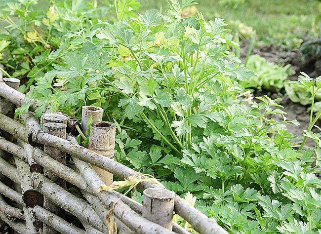 Quand et comment semer du persil en pleine terre Semer