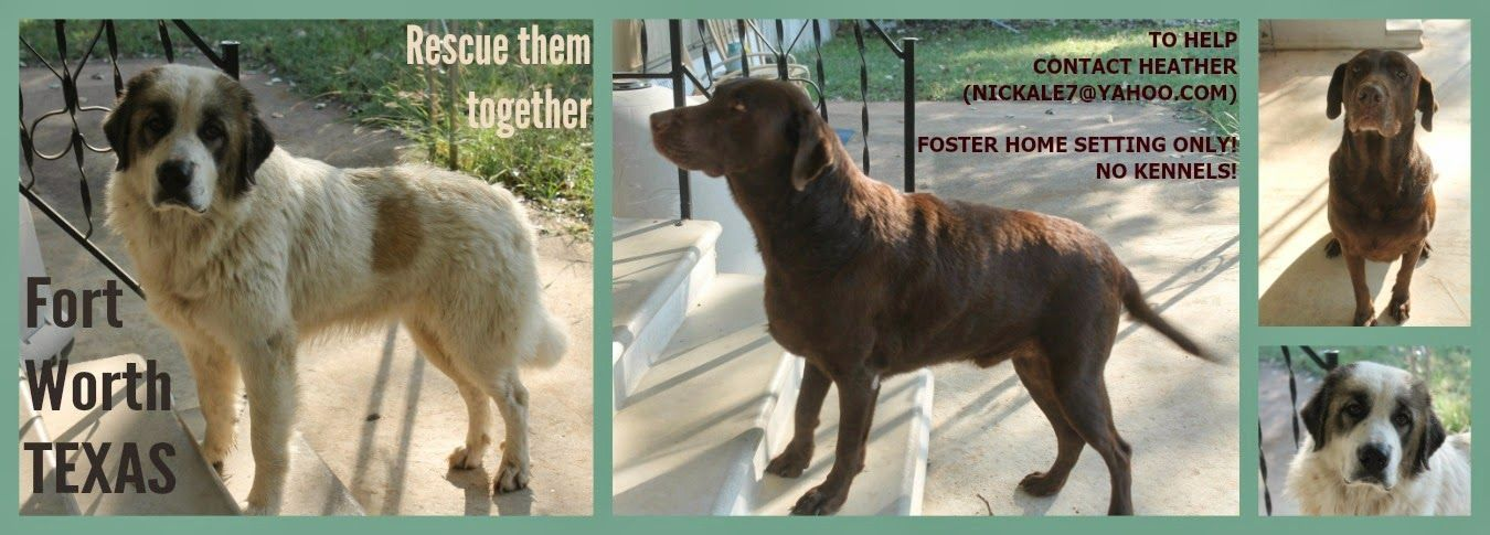 lizardmarsh: FT WORTH TX: Urgent. 2 stray dogs, Chocolate LABra...