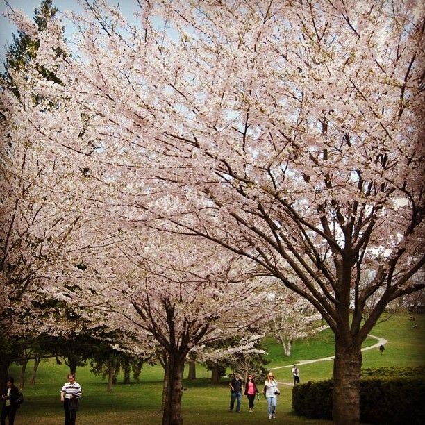 Cherry Blossom On Sakura Tree At High Park Toronto Cherry Cherryblossom Sakura Toronto Highpark High Park Canada Blossom Sakura Tree Canada Toronto