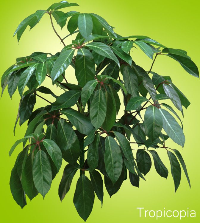 Umbrella Plant Toxic: LIGHT: Med-high. WATER: Let 25-30% Dry Out