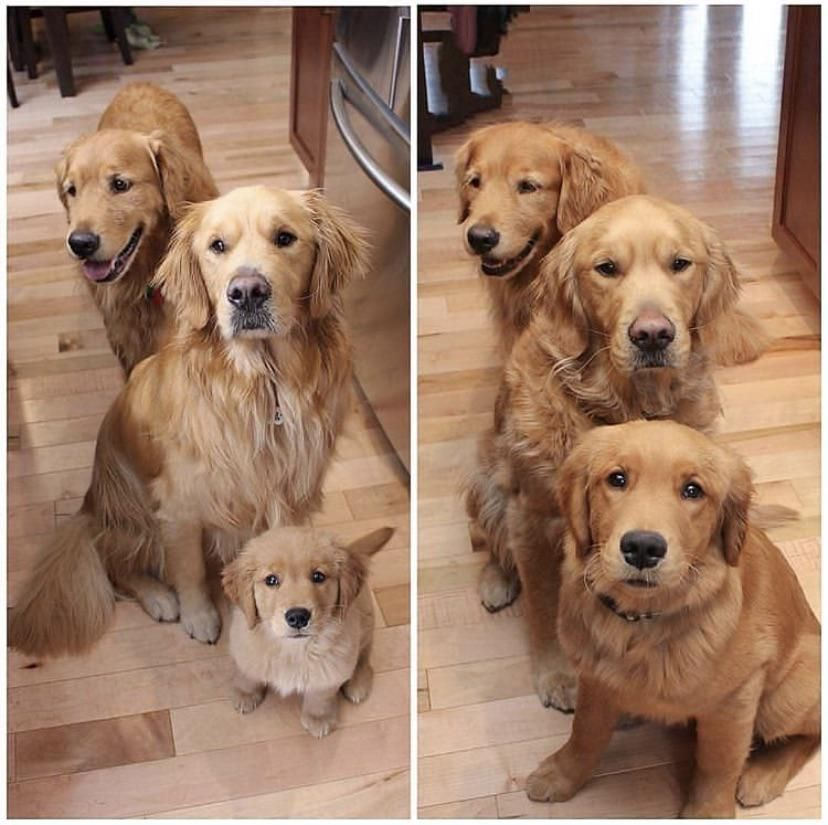 The Kind Of Glow Up That S Important To See Goldenretriever
