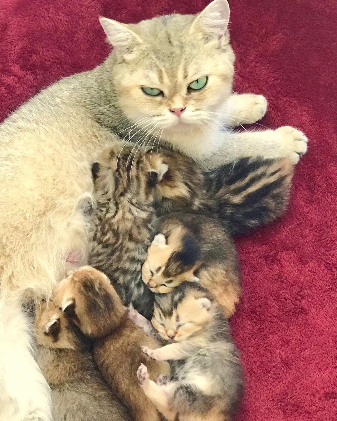 Cat Breeder In Florida Www Britishscottishkittens Com Meow Kittens Kitten Cat Cats Kitty Kitties Cute Britishshorthair Sco Cats Kittens Baby Animals Kitten For Sale