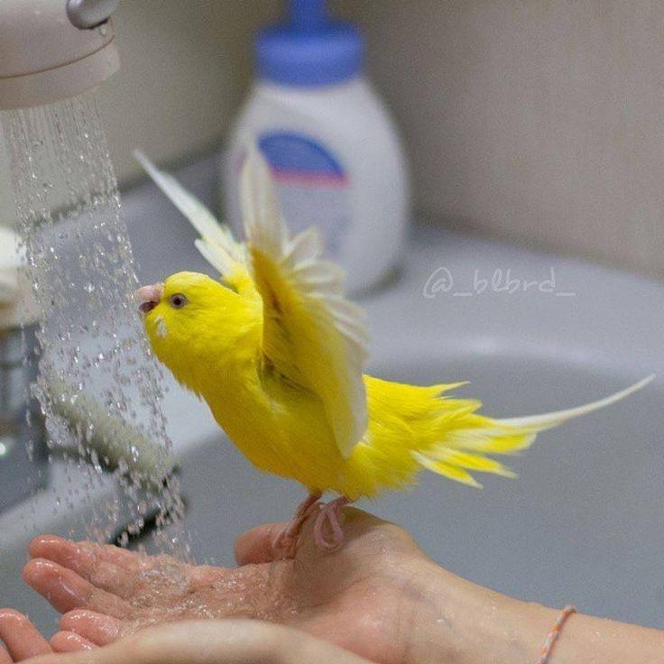 Kanarienvogel Alleine Halten