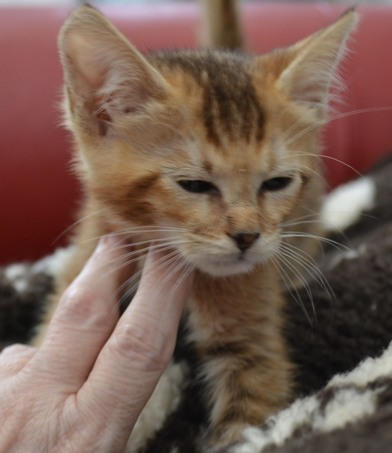 F2 generation Sand Cat Hybrid/Marguerite (With images