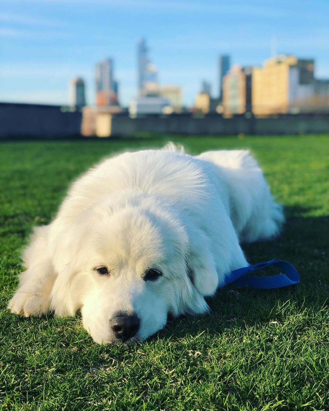 Everything You Want To Know About Great Pyrenees Including