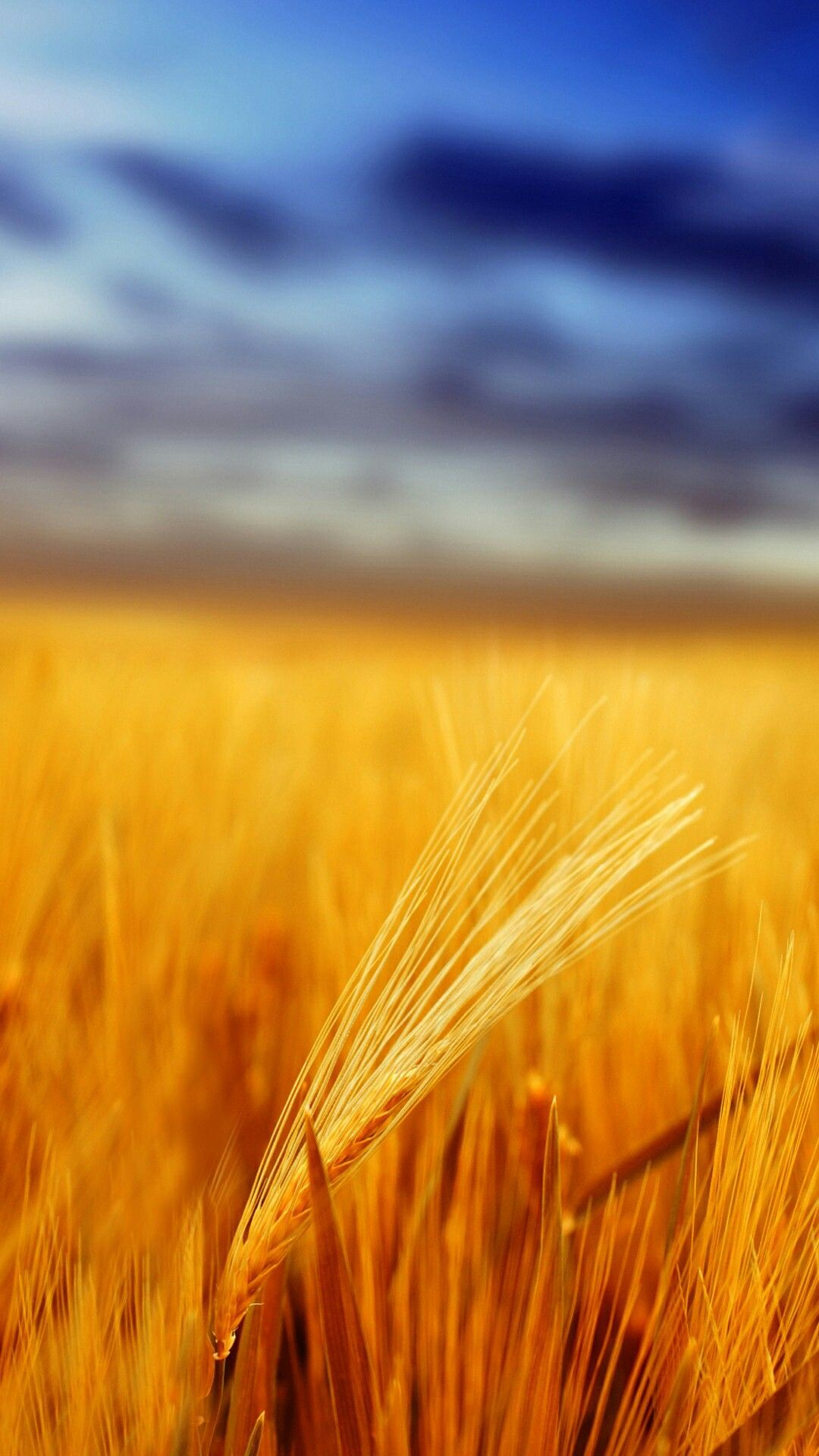 Colorful Sunset Over Wheat Field wallpapers wallpapers in