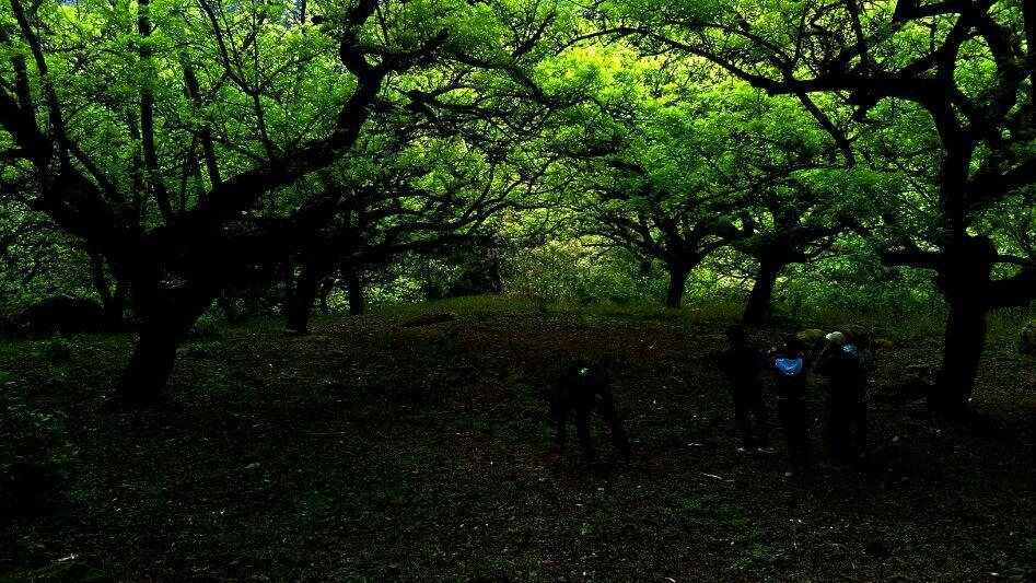 Bosque de ciruelos