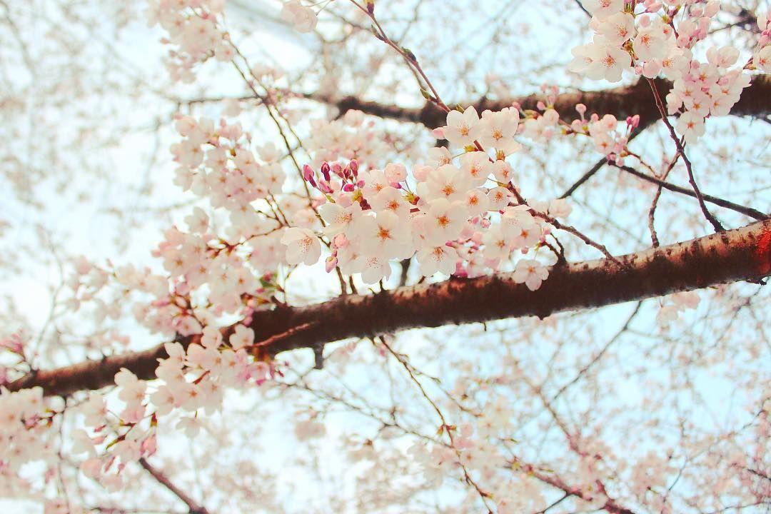 Musim Semi Di Korea Cherry Blossoms Dimana Mana Dipoto Pake Apapun Hasilnya Pasti Bagus Musim Semi Di Korea Cherry Blosso Cherry Blossom Flowers Blossom