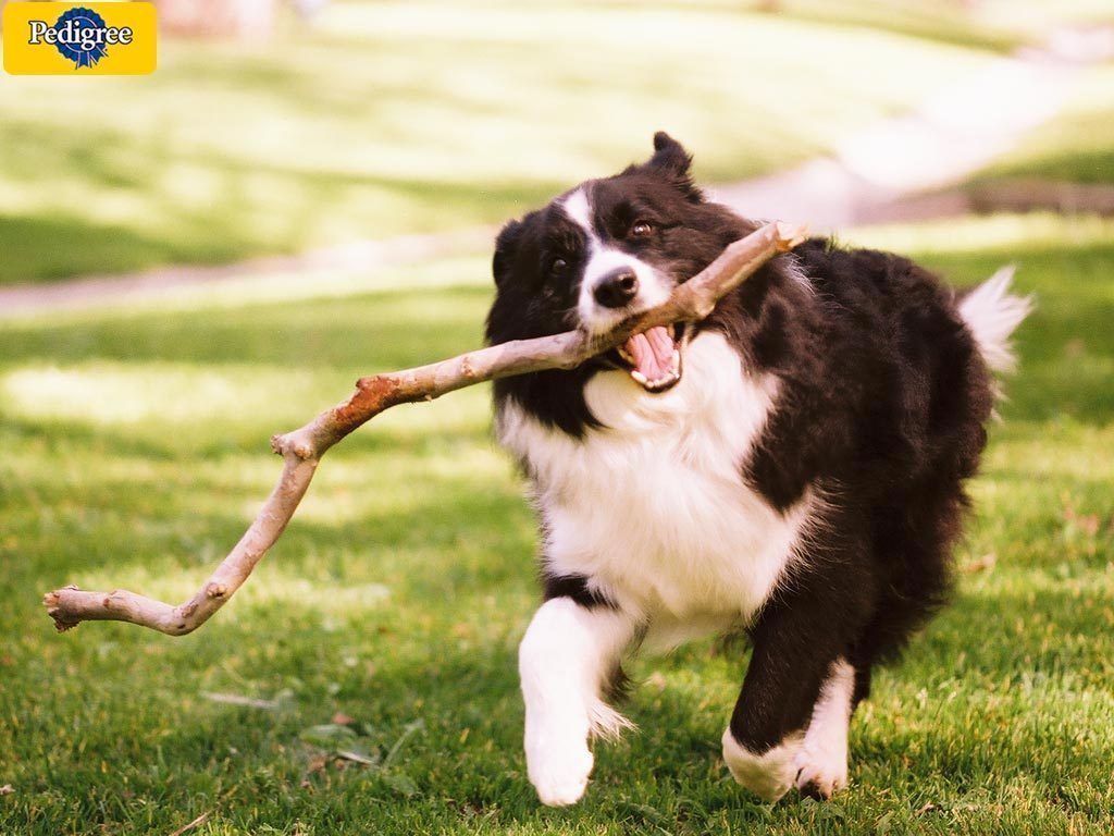 At Play Dogs Dogs Dogs Border Collie Dogs Big Dog Little Dog