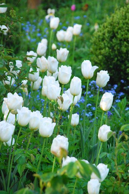 Weiße Tulpen bringen Helligkeit in den Frühlingsgarten | Tulpen ...