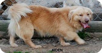Yardley Pa Golden Retriever Corgi Mix Meet Aiden B Newman A Dog For Adoption Golden Retriever Corgi Mix Golden Retriever Dog Adoption