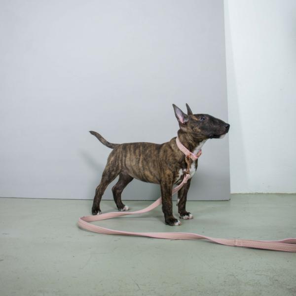 Candy Pitbull Terrier Mini Bullterrier Englischer Bullterrier